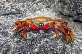 A red rock crab (Grapsus grapsus), Cerro Brujo, San Cristobal Island, Galapagos Islands, Ecuador.