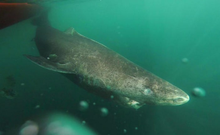A 400-year-old shark is the latest animal discovery to reveal the secrets of long life
