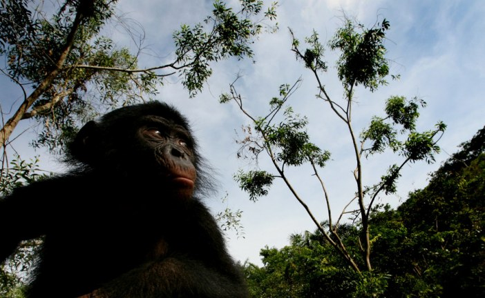 Revealed: the ancient genetic link between chimpanzees and bonobos