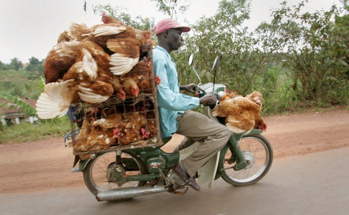 Bird flu outbreak in Uganda: some key facts about the virus