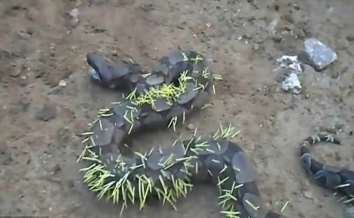 Instant Karma for snake after attacking a porcupine