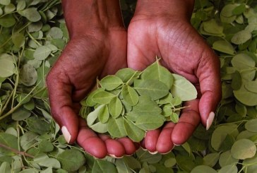 The Moringa tree enters the arsenal of treatments against chronic diseases