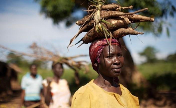 Cash from cassava: better breeds of the staple crop will boost development